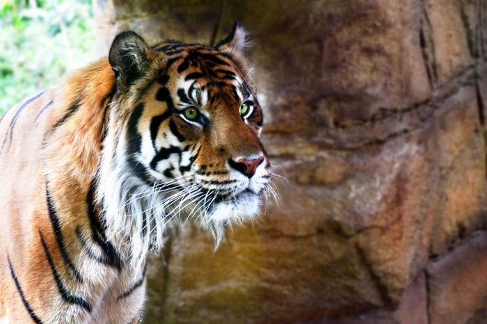 Tiger in London zoo aAnimal Markings aAnimal Themes AAnimals In The Wild EEyeEm Best Shots lLovely pPhotography tTiger ZZoo lLondonzoo RRelaxing mMy Point Of View pPicture dDay nNature