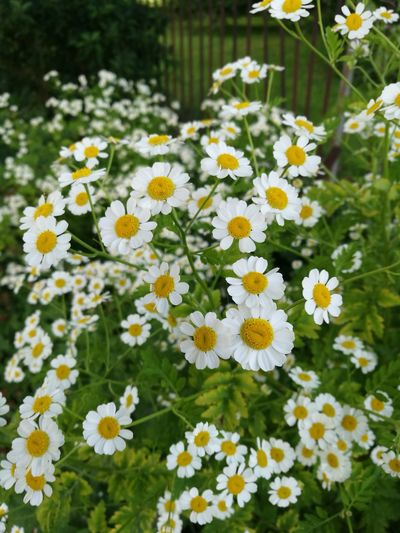 Meet a distant cousin maybe of the 'Day's Eye' as the Saxons called daisies - Feverfew Feverfew Daisy Lover Headache Cure EyeEm Nature Lover Horticulture Flower Head Flower Flowerbed Yellow Multi Colored Summer Petal Uncultivated