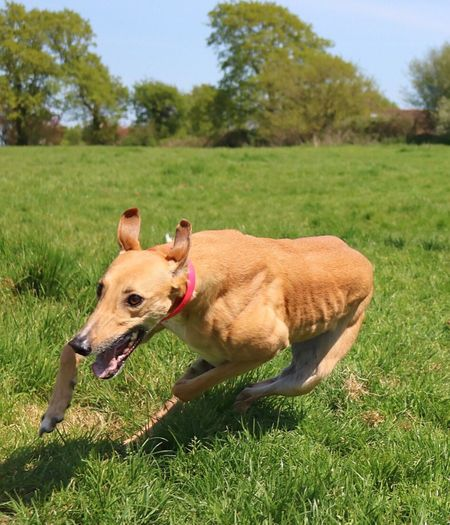 Need For Speed Greyhound Speedy Happy Dog Zooming Silly Ears Running Dog