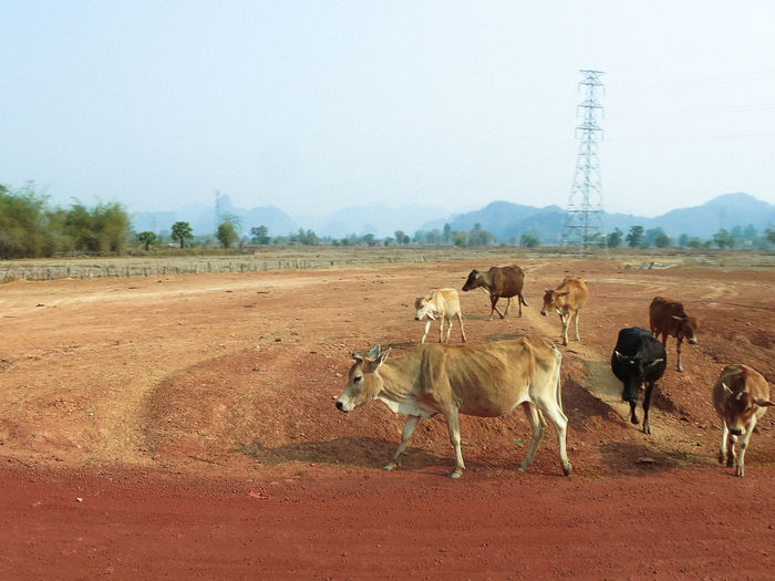 Animal Themes Clear Sky Day Domestic Animals Field Group Of Animals Herd Landscape Laos Large Group Of Animals Livestock Mammal Nature No People Outdoors Sky