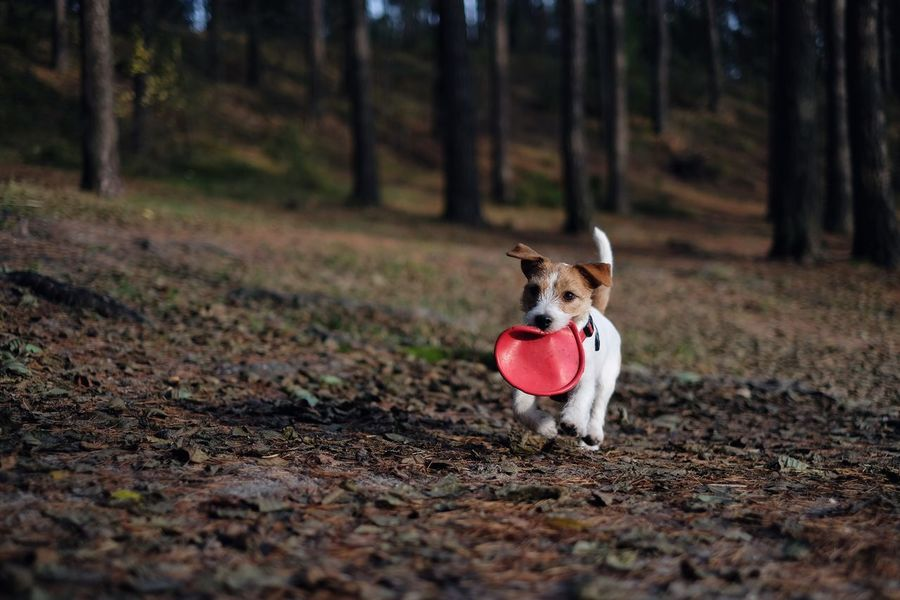 Jack Russell terrier running with a frisbee in the forest. Dog Pets Animal Themes Domestic Animals One Animal Mammal Nature Tree No People Sticking Out Tongue Outdoors Forest Day Frisbee Frisbee Dog Jrt Dog Outside Jack Russell Terrier Jackrussellterrier Running Dog Jack Russell Autumn Colors Portrait Nature Tree