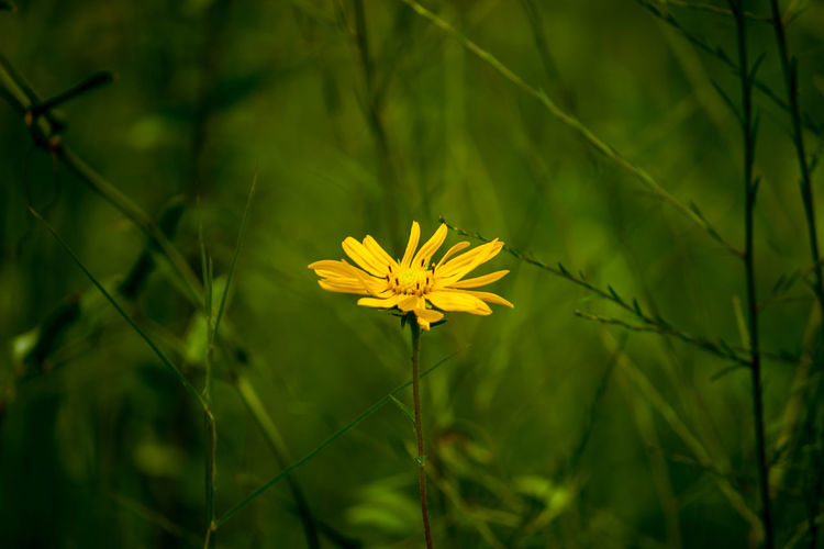 Yellow Flower Beauty In Nature Florida False Sunflowe Florida Wildflower Flower Flower Head Flowering Plant Fragility Freshness Growth No People Plant Yellow