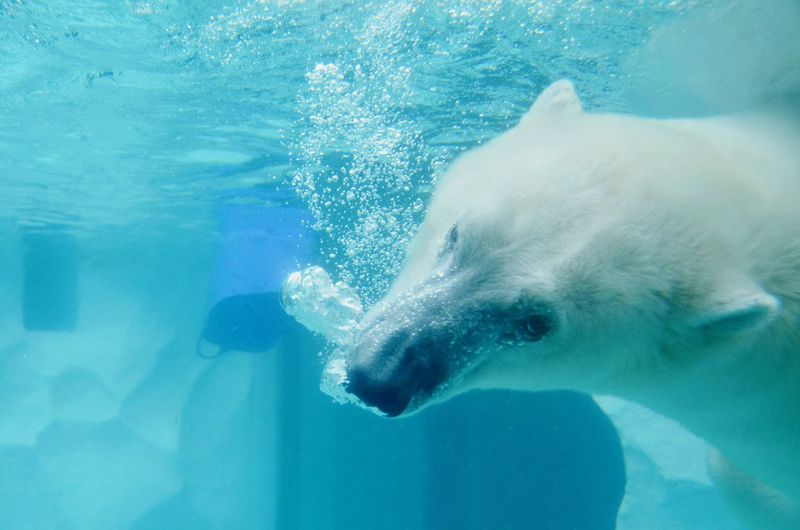 Polar bear swimming in aquarium