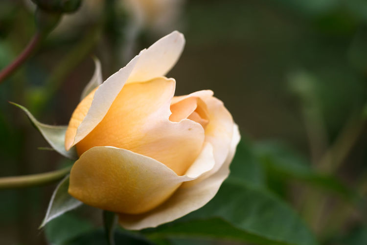 rose bud of port sunlight, a beautiful english rose in apricot orange, musk hybrid bred by David Austin, green background with copy space Apricot Nature Orange Beauty In Nature Blossom Botany Bud David Austin Flower Flower Head Flowering Plant Growth Outdoors Pale Petal Plant Part Port Sunlight Rosé Rose🌹