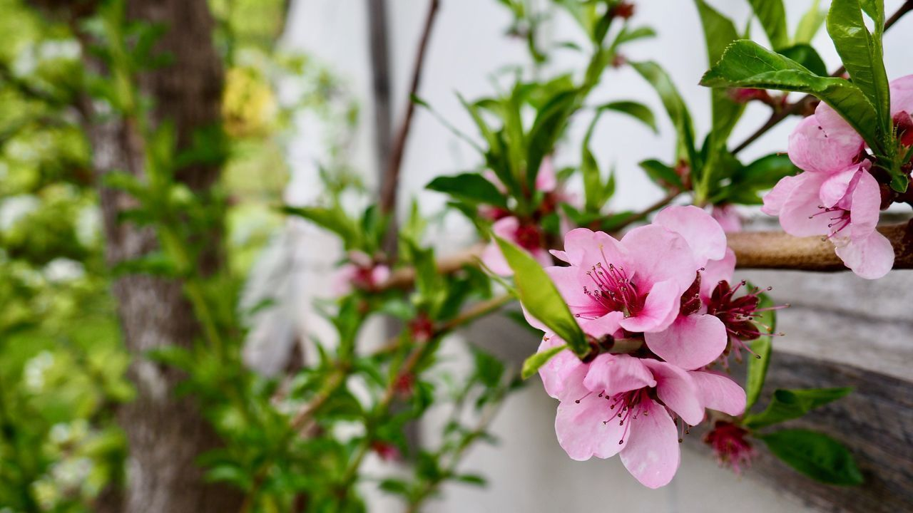 flower, plant, flowering plant, freshness, beauty in nature, pink color, petal, growth, fragility, vulnerability, inflorescence, close-up, flower head, nature, no people, focus on foreground, plant part, day, leaf, tree, outdoors, pollen, springtime, cherry blossom, cherry tree