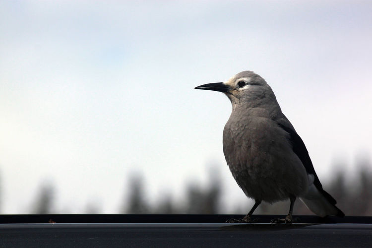 Birds Animal Themes Animal Wildlife Animals In The Wild Bird Clear Sky Close-up Day Nature No People One Animal Outdoors Perching Raven - Bird Sky