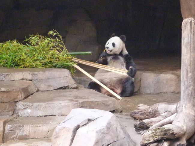 Day One Panda Panda Awake Panda Chomping Panda Laid Back Panda Sitting And Eating Panda Sitting Up Panda With Bamboo