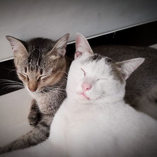 Domestic Cat Pets Domestic Animals Animal Themes Mammal Indoors  Feline No People Close-up Yawning Togetherness Day Resting Time Cats Cats Of EyeEm