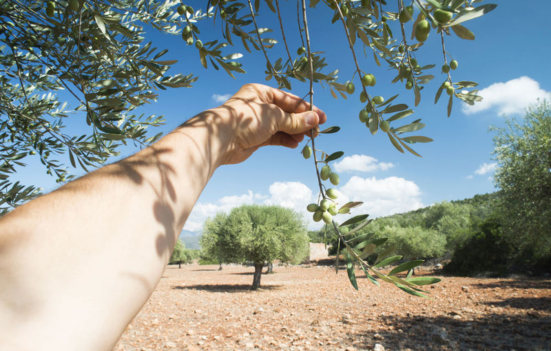 Olive Olive Tree Olives Agriculture Orchard Vegetables Branch Soil Plant Human Hand Human Body Part Hand Tree One Person Nature Sky Real People Day Sunlight Lifestyles Body Part Leisure Activity Men Personal Perspective Outdoors Growth Finger