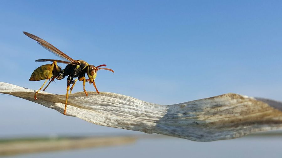 Side view of hornet on dry leaf against sky