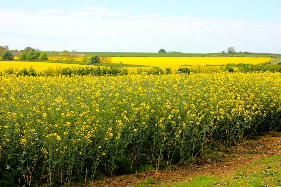 rapeseed field Agriculture Beauty In Nature Crop  Cultivated Cultivated Land Day Farm Field Flower Freshness Growth Landscape Mustard Plant Nature No People Oilseed Rape Outdoors Plant Rural Scene Scenics Sky Springtime Tranquil Scene Tranquility Yellow