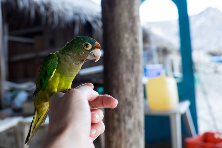 Close-Up Of Parrot Perching On Human Hand
