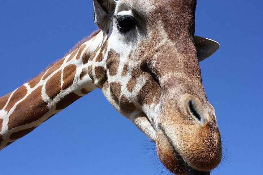 One tall dude Animal Body Part Animal Head  Animal Themes Animal Wildlife Animals In The Wild Blue Clear Sky Close-up Giraffe Low Angle View Mammal Nature No People One Animal Outdoors Safari Animals