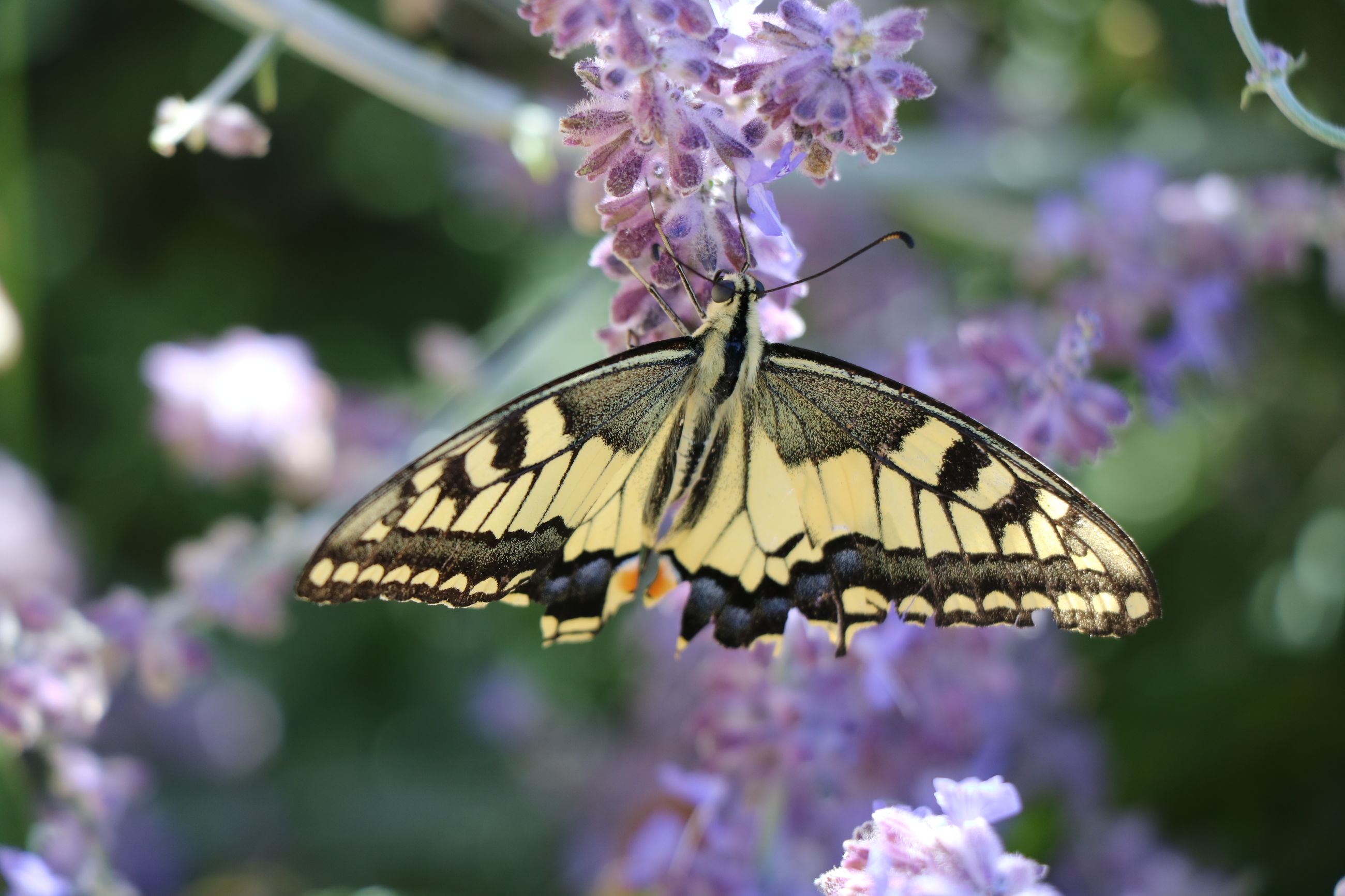butterfly - insect, insect, fragility, purple, one animal, flower, animal themes, animals in the wild, focus on foreground, beauty in nature, nature, butterfly, close-up, no people, freshness, pollination, plant, day, animal wildlife, growth, outdoors, spread wings, perching, flower head