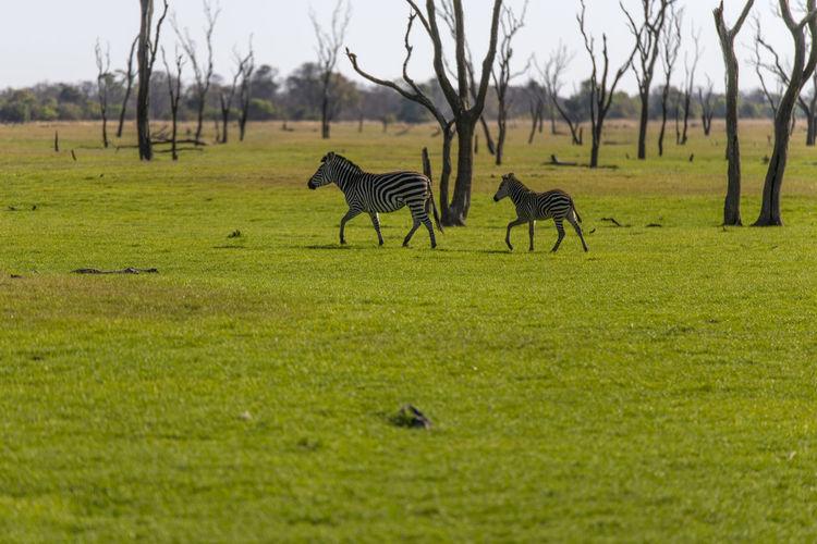 View of zebra running on field