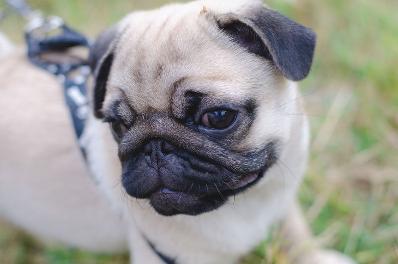 One Animal Animal Themes Animal Mammal Pug Pets Dog Canine Domestic Animals Domestic Lap Dog Vertebrate Small Portrait Close-up Focus On Foreground Day Looking At Camera Animal Body Part No People Animal Head  Purebred Dog Pug