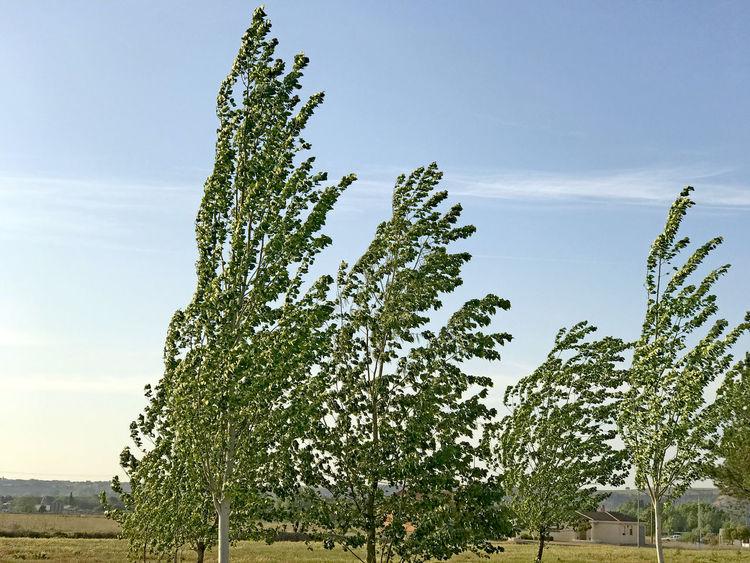 Air Atmosphere Breeze Contryside Environment Garden Landscape Leaf Leaves Motion Movement Nature Park Poplar Populus Nigra Scene Sky Tree Vegetation Weather Wind Wind Power Windy Windy Day Windyweather
