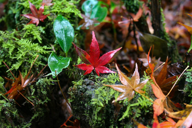 Autumn rain in Japan Autumn In Japan Autumn Leaves Japan Japan Photography Japan Autumn Miyajima Rainy Days Autumn Beauty In Nature Close-up Leaf Leaves Nature Red Vulnerability