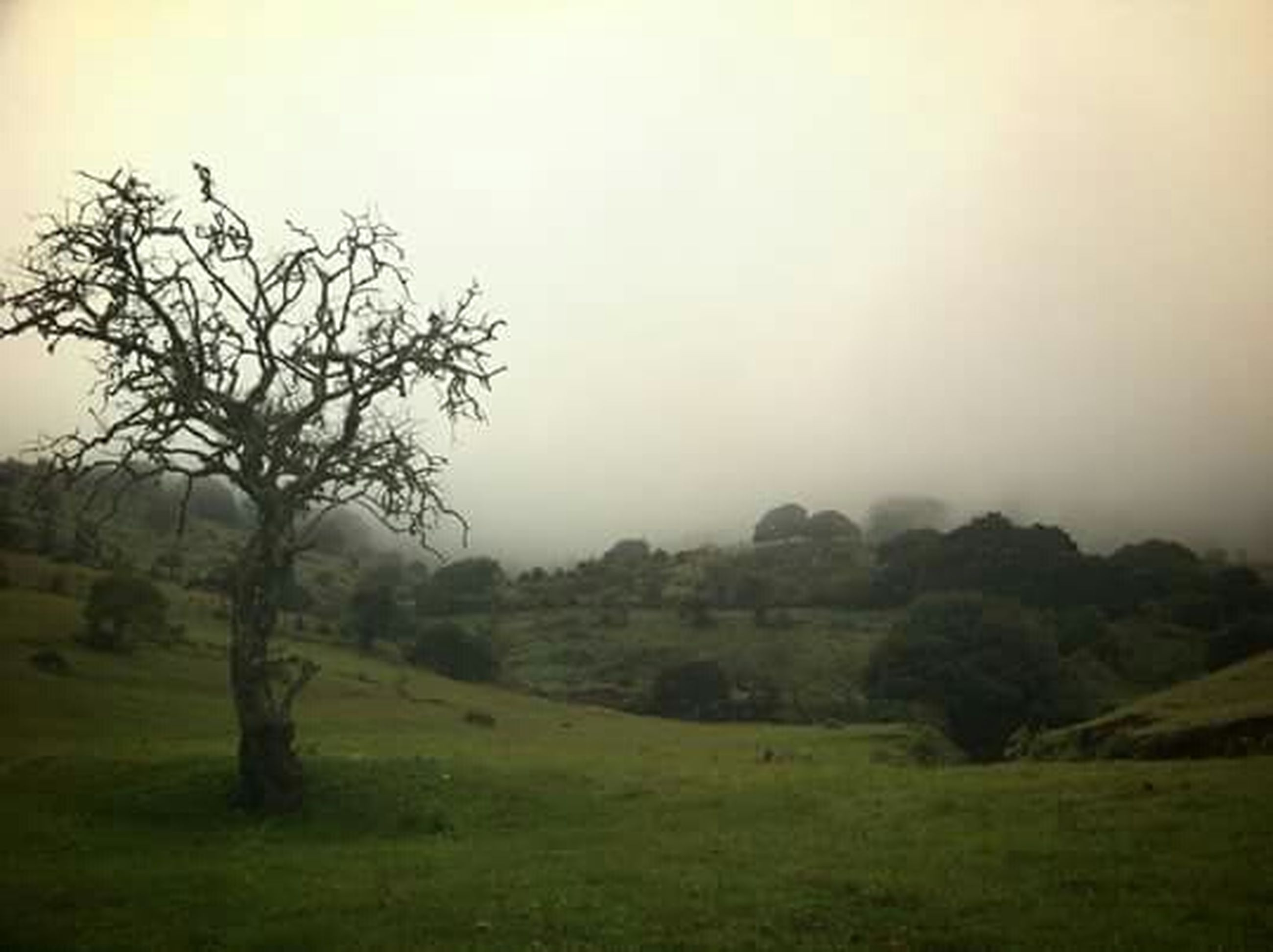 tree, landscape, tranquil scene, fog, tranquility, grass, field, scenics, beauty in nature, foggy, nature, grassy, growth, green color, sky, copy space, non-urban scene, weather, idyllic