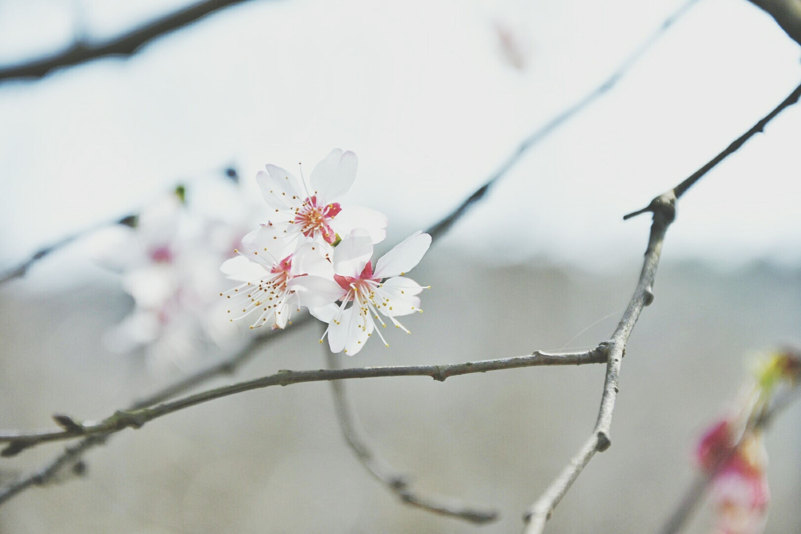 flower, branch, freshness, growth, fragility, focus on foreground, beauty in nature, twig, close-up, nature, petal, blossom, tree, blooming, cherry blossom, selective focus, in bloom, springtime, stem, pink color