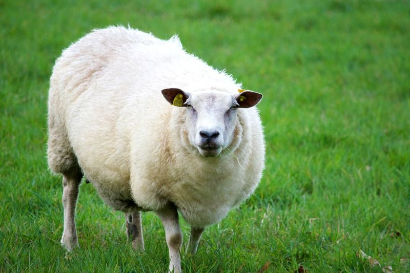 Grass Domestic Animals Animal Themes Nature Mammal Champ Agriculture Ferm Brebis Agneau  Mouton Green Color Beauty In Nature Pasture Nature