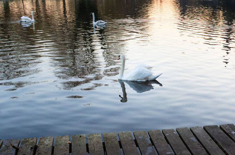 Water Bird Swimming No People Floating On Water Rippled Outdoors High Angle View Reflection Swan Water Bird River Sunset