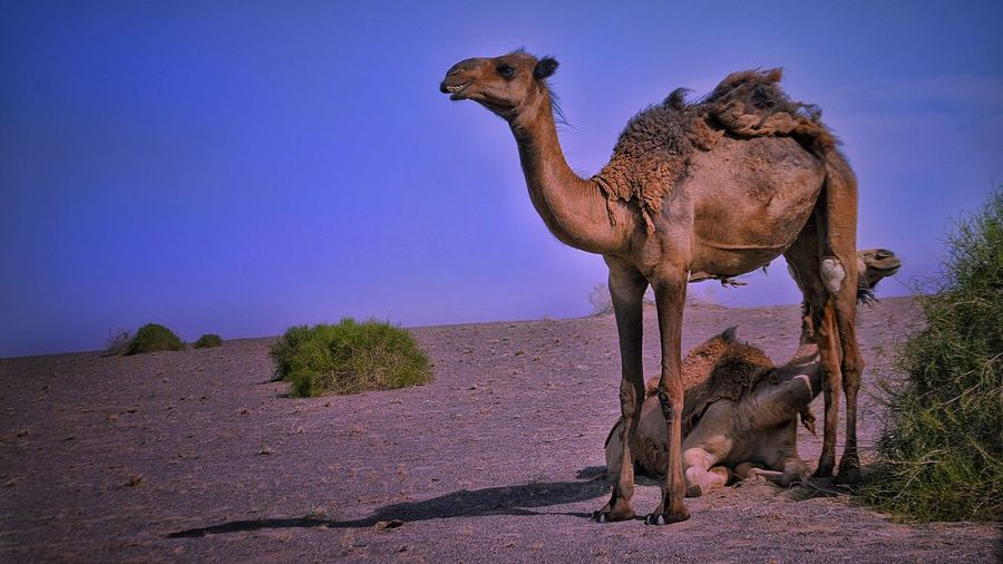 Camels 🐫 in