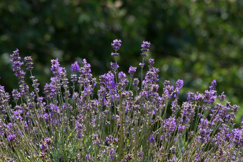 Lavendel 2724