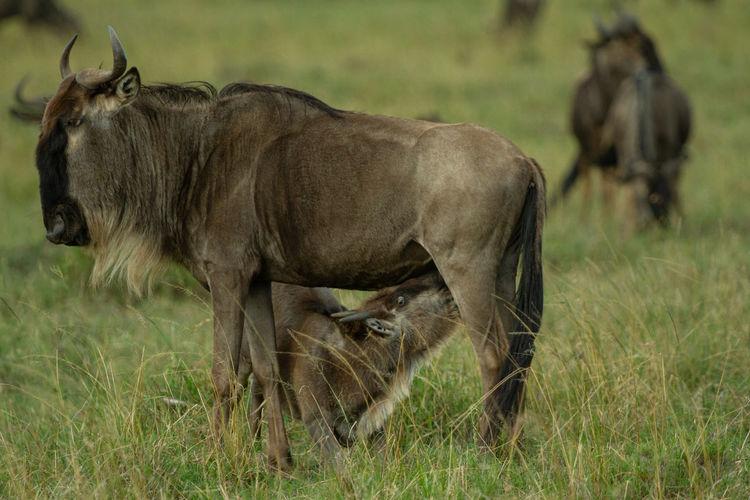 Wildebeest calf nursing from its mother