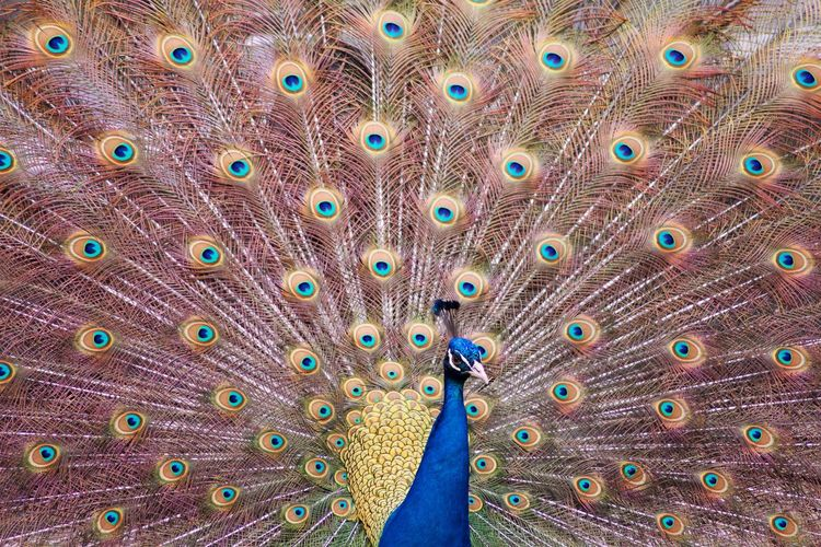 Bird Peacock Animal Themes Animal Animals In The Wild Animal Wildlife Vertebrate Feather  Fanned Out One Animal Peacock Feather No People Full Frame Beauty In Nature Day Close-up Multi Colored Nature Outdoors Backgrounds Animal Head  My Best Photo