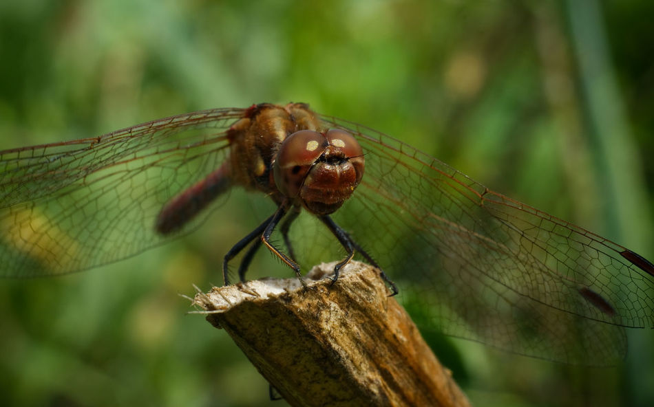 Animal Themes Animal Wing Animals In The Wild Close-up Dragonfly Dragonfly Extreme Close-up Focus On Foreground Insect Invertebrate Nature One Animal Wildlife