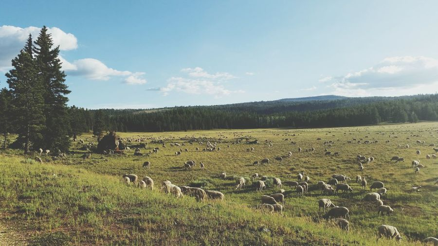 Sheep Field Adventure Meadow Shepherd Outdoors
