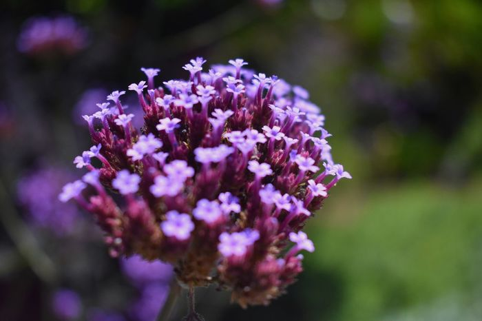 Purple Flower Nature Fragility Plant Focus On Foreground Pink Color Outdoors Close-up Day No People Beauty In Nature Lilac Freshness Flower Head
