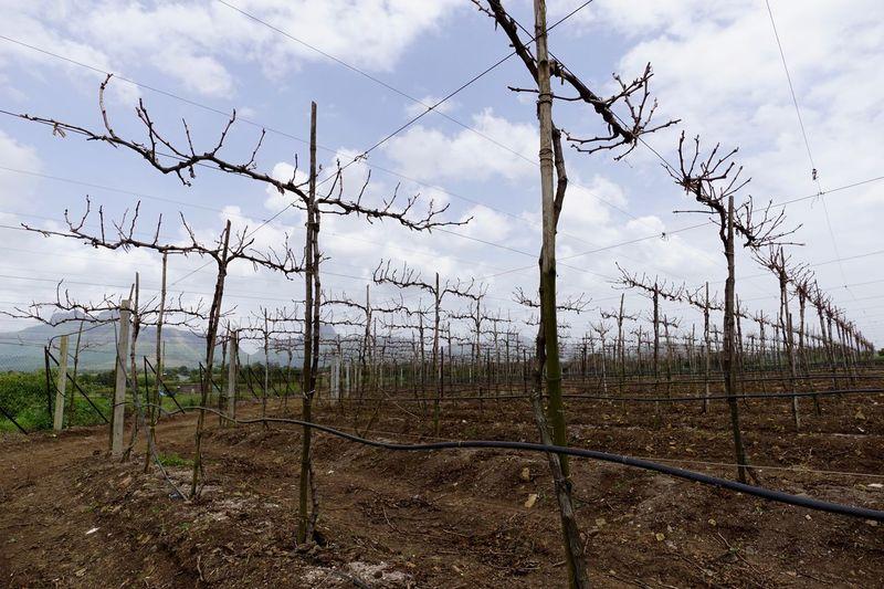 Table grape vines in Maharashtra, India. Agriculture Arbor Cloud - Sky Dormant Fruit Grape Grapevine India Landscape Maharashtra Outdoors Table Grapes Trellis Vineyard Viticulture