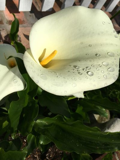 Lily Dew Bloom