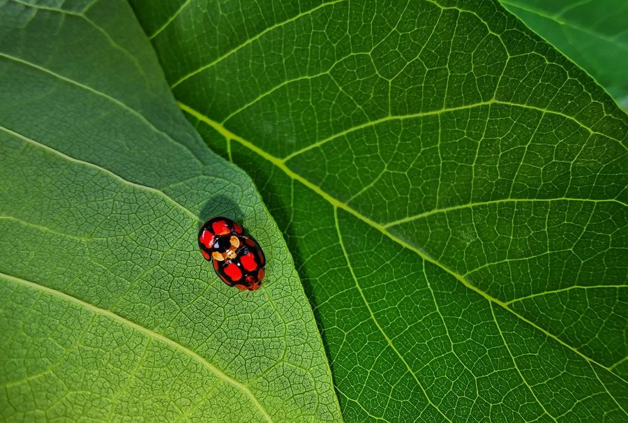 Close up. Two of ladybird on the green leaf Green Color Close-up Insect Invertebrate Leaf Leaf Vein Plant Part Animal Wildlife Animal Themes No People Nature Animal One Animal Plant Beetle Animals In The Wild Day High Angle View Growth Outdoors