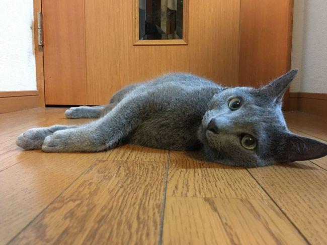 Cute Mycat Kitten RussianBlue Cat