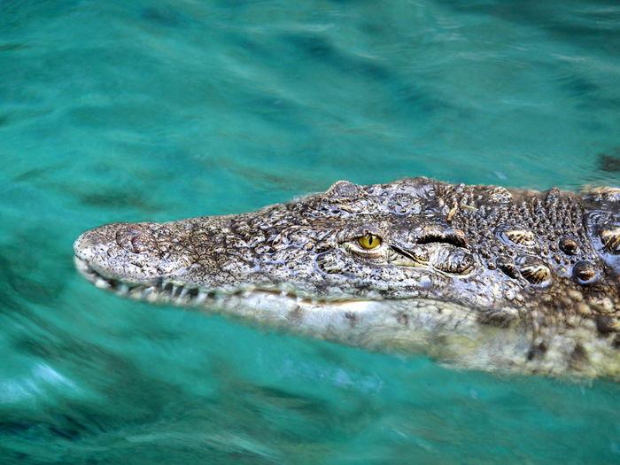 View of crocodile swimming in sea