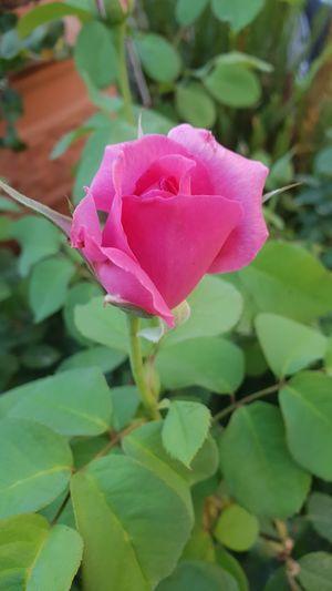 Flower Head Flower Leaf Pink Color Multi Colored Petal Rose - Flower Heart Shape Close-up Plant Wild Rose