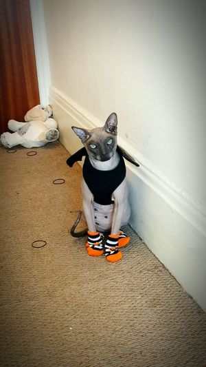 Halloween cat. Halloween Cats Of EyeEm Donskoy Mr Roux Naked Cat Funny Cat