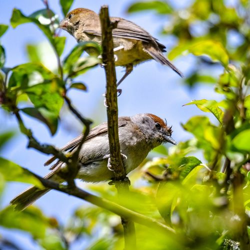 blackcaps Blackcap Black Cap Young Young Bird Beauty In Nature Birds Of EyeEm  Bird Photography Birds🐦⛅ Birding Nature Nature Collection Nature Photography Bokehlicious Bokeh Bokeh Photography Leaf Insect Tree Close-up Animal Themes Sky Plant Life