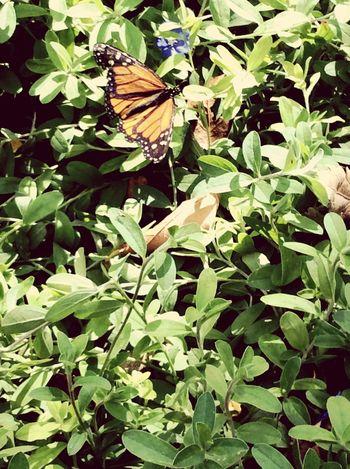 Flutterby Butterfly Butterflies Are Free Butterfly Migration 2015 Butterfly Wonderland