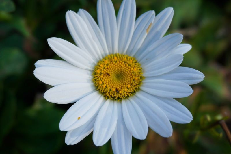 Flower Flowering Plant Fragility Vulnerability  Inflorescence Freshness Flower Head Petal Plant Growth Beauty In Nature Close-up Pollen White Color Focus On Foreground Nature Day Daisy