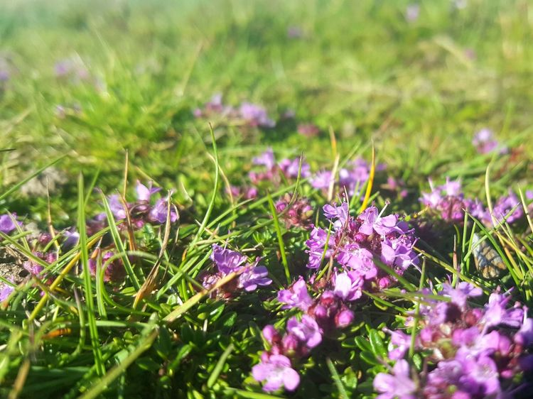 Pink Pink Flower Pink Flowers Wild Wild Flowers Wildlife & Nature Nature Nature Photography Focus On Foreground Focal Point Focus On Macro Beauty Macro Natural Beauty Pretty North Wales Tiny Flowers Sedum Grass Grassy Hillside Samsung Galaxy S6 Edge+