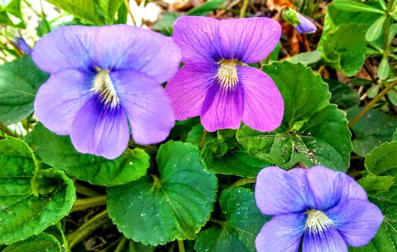 life +violets=Spring! Beautiful Flower In Portland Maine USA Happiness Spring Flowers Nature_perfection Beauty In Nature No People Nature Lover Color Of Life Loving The Landscape Violets My Unique Style Garden Plants Flower Head Flower Leaf Petal Purple Close-up Blooming Plant In Bloom
