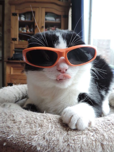 Animal Themes Cat Cat Lovers Close-up Cool Cool Cat Indoors  No People One Animal Pets Portrait Sunglasses