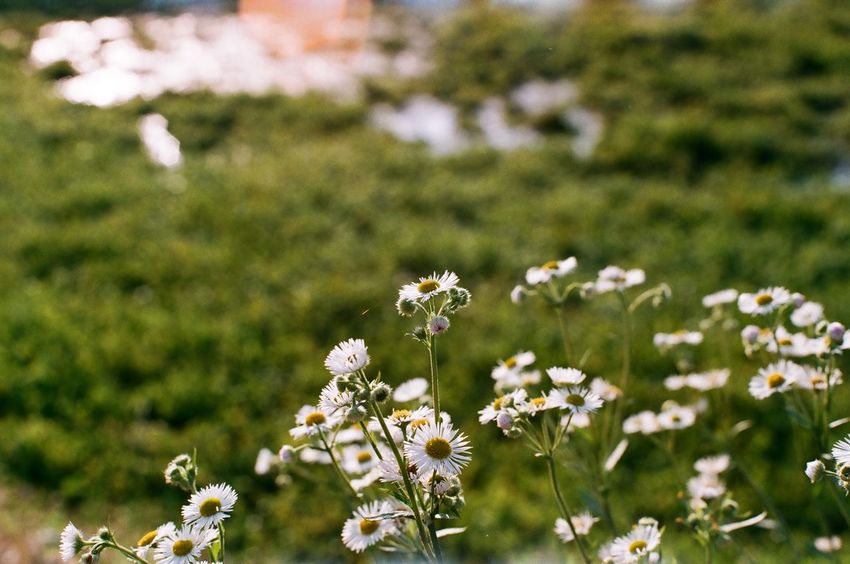Wildflowers Minolta X700 Minolta Film Photography Film Flower Nature Field Growth Fragility Day Beauty In Nature Plant White Color Outdoors No People Freshness Blooming Flower Head Grass