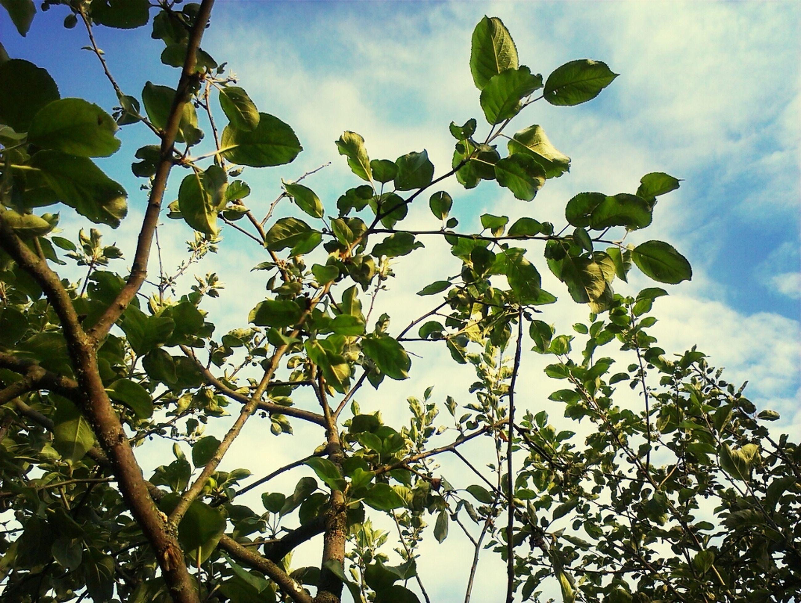 low angle view, tree, branch, sky, growth, leaf, nature, cloud - sky, green color, beauty in nature, cloud, day, outdoors, tranquility, no people, cloudy, high section, twig, sunlight, freshness