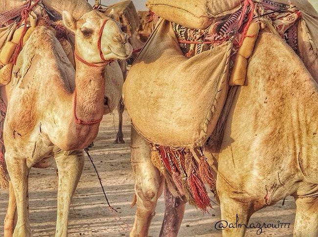 جمل Camel Animal Souq_okaz سوق_عكاظ الطائف Taif