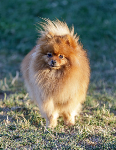 2-year-old male puppy pomeranian portrait. off-leash dog park in northern california.
